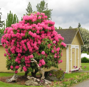 A beautiful Port Gamble  Rhody in bloom!